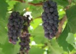VC果园:大棚种植葡萄成本每亩多少钱?利润如何?