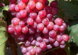 VC果园:一亩大棚葡萄一年利润有多少钱?