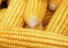 VC果园:2020山东玉米价格行情预测走势