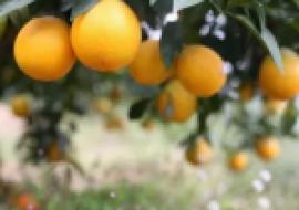 VC果园:橙子和橘子的区别