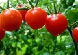 VC果园:西红柿生吃有什么好处?西红柿是生吃好还是熟吃好?