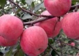 VC果园:吃苹果有什么好处?真能减肥吗?粉苹果和脆苹果的区别