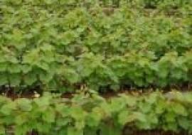 VC果园:夏至红葡萄苗价格多少钱一株?品种有何优缺点?