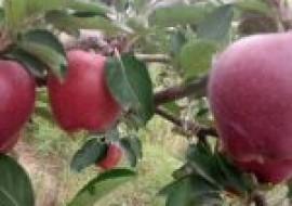 VC果园:花牛苹果树苗几年结果?多少钱一棵?