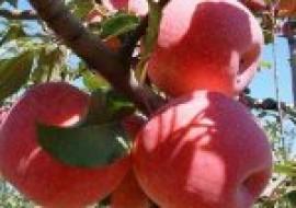 VC果园:瑞阳苹果树苗多少钱一棵?种植前景如何?