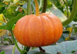 VC果园:南瓜苗价格多少钱一株?南瓜种植前景分析