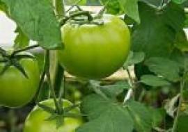 VC果园:西红柿有哪些高产品种?亩产量多少?