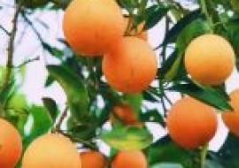 VC果园:橙子的功效与作用