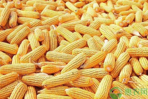 现在玉米价格多少钱一斤?2020全国玉米价格走势预测