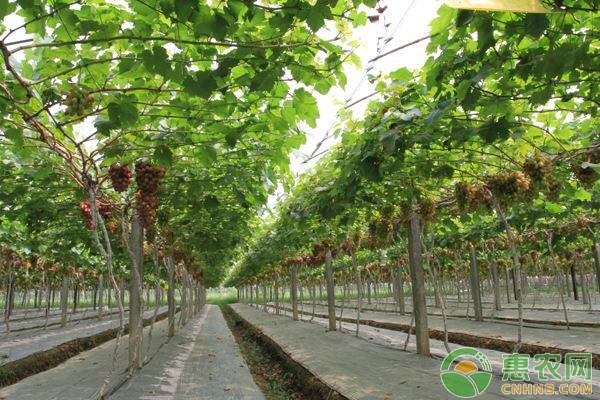 葡萄苗什么品种好?育苗方法有哪些?