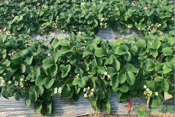 2020年草莓苗批发价格多少钱一棵?哪里有卖?