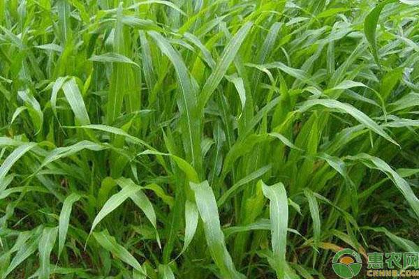墨西哥玉米草种子哪里有卖?育苗方法有哪些?