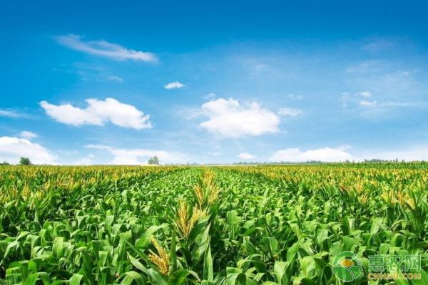 水果玉米批发价格多少钱一斤?种植前景如何?