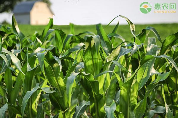 2020年玉米价格会涨到11月份吗?玉米价格为何会上涨?