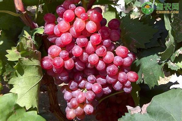 一亩大棚葡萄一年利润有多少钱?