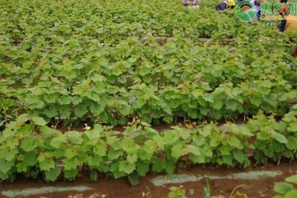 夏至红葡萄苗价格多少钱一株?品种有何优缺点?
