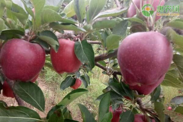 花牛苹果树苗几年结果?多少钱一棵?
