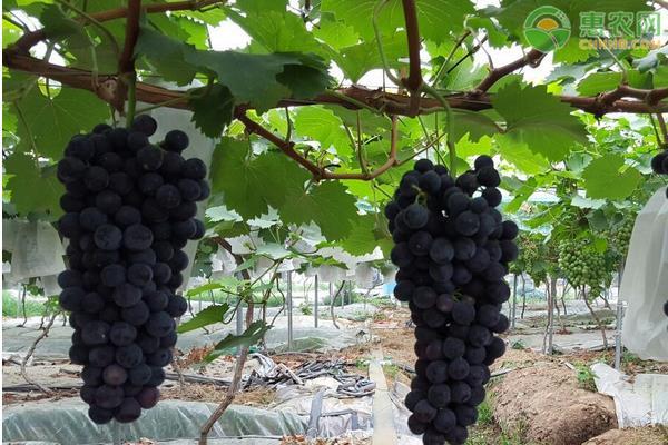 常见好吃的葡萄品种大全