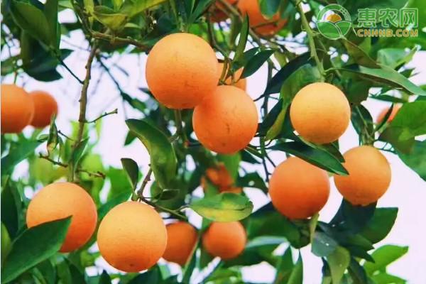 橙子的功效与作用